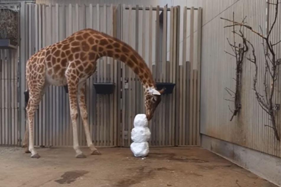Bei den Giraffen löste der Schnee zuerst Erstaunen aus.
