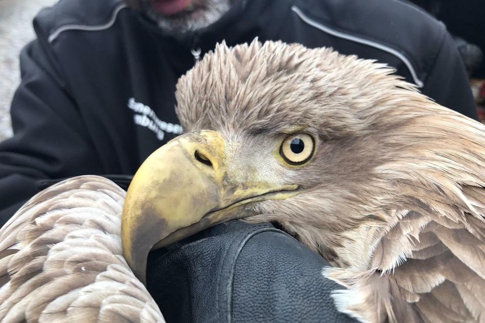 Schwanenvater Olaf Nieß hält den verletzen Seeadler auf dem Arm. Nach der Notoperation musste das Tier eingeschläfert werden.