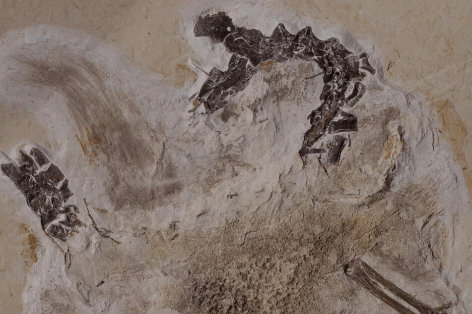 Gegenplatte des Fossils Ubirajara jubatus. Seit Jahrzehnten befindet sich das Fossil des Sauriers Ubirajara im Naturkundemuseum in Karlsruhe.
