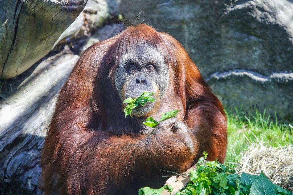 Orang-Utan-Weibchen Djaka feierte vergangenes Jahr ihren 50. Geburtstag (Archivbild).