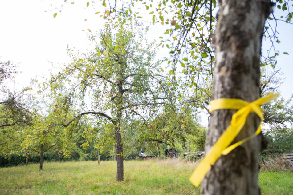 Obstbäume stehen mit einem gelben Band um den Stamm gebunden auf einer Streuobstwiese. Das gelbe Band an einem Obstbaum bedeutet: pflücken erlaubt!.