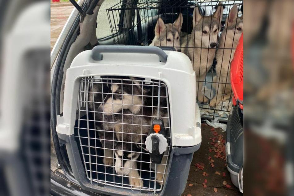 Zwei Huskys sitzen eingepfercht in einer engen Transportbox. Im Hintergrund sitzen drei weitere Tiere dieser Rasse in einem Käfig. (Bildmontage)