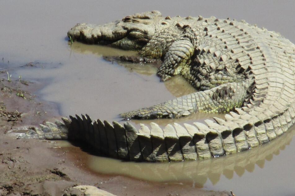 Ein Krokodil wurde in einem hessischen Bach entdeckt. (Symbolbild)