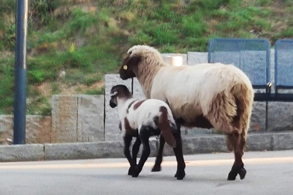 Ein Schaf und ein Lamm büxten aus einem Gartengrundstück in Wilkau-Haßlau aus und irrten umher.