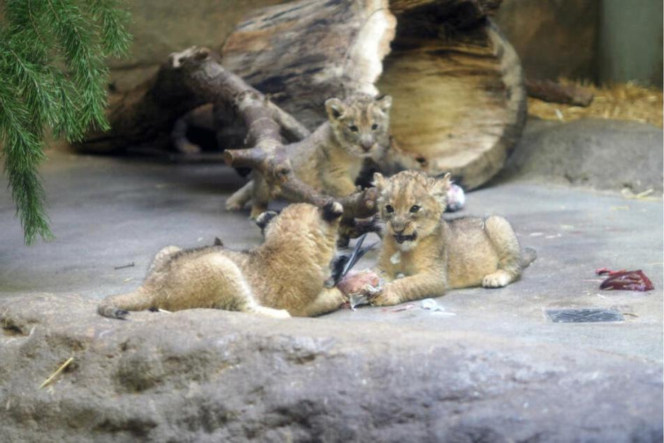 Die fünf Kleinen waren mittlerweile schon für die Zoobesucher im Löwengehege zu sehen.