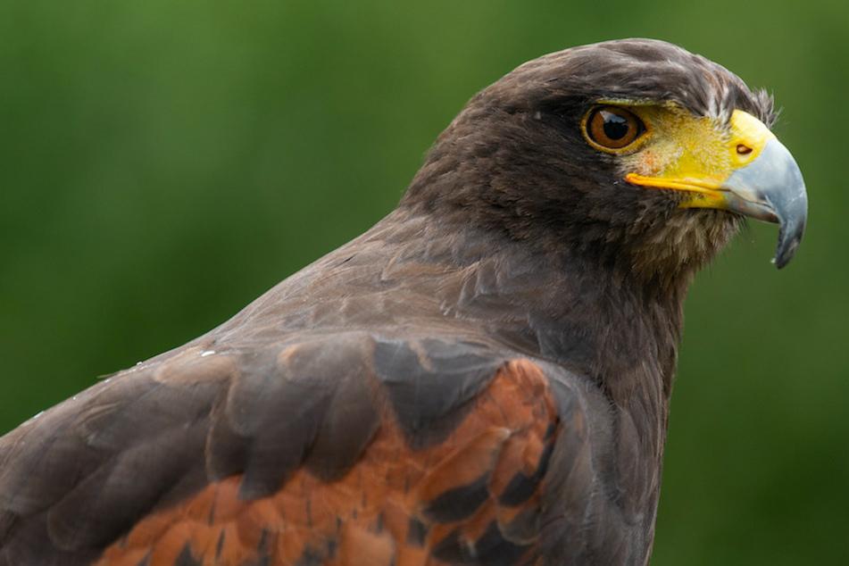Neun tote Greifvögel gefunden: Wurden die Tiere in Bayern vergiftet?