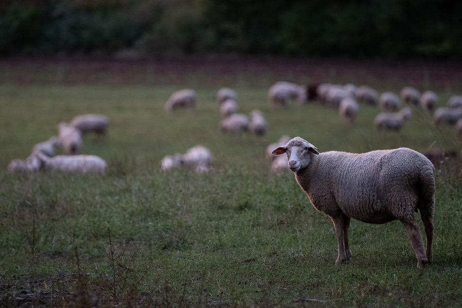 Drei Schafe im Rhein-Sieg-Kreis getötet: Experten untersuchen möglichen Wolfsriss