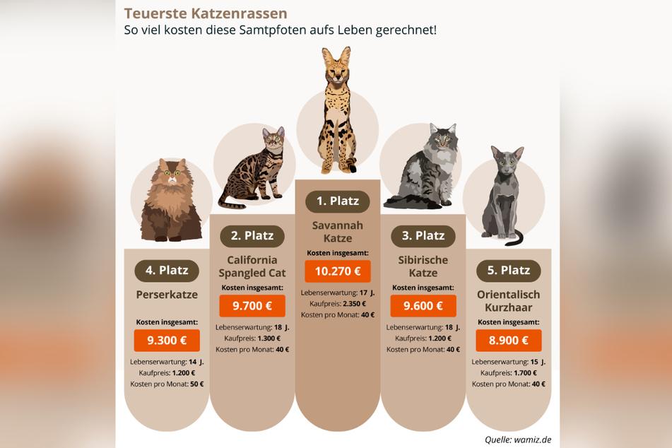 Diese fünf Katzenrassen gelten als die teuersten der Welt.