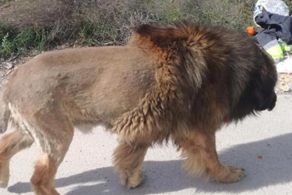Hund oder Löwe: Was ist das nur für ein Tier?