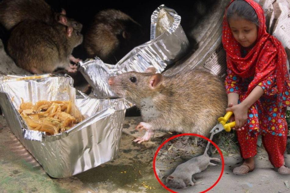 Katzengroße Ratten töten angeblich fünf Kinder