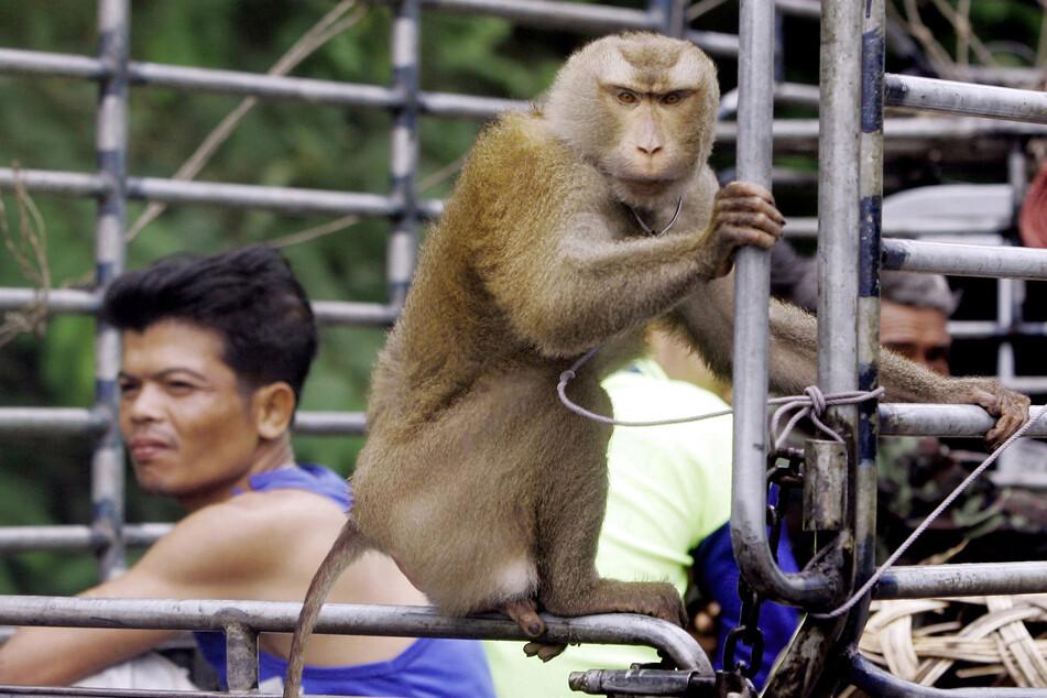 Kokosskandal: Affen sollen für Ernte in Thailand ausgebeutet werden