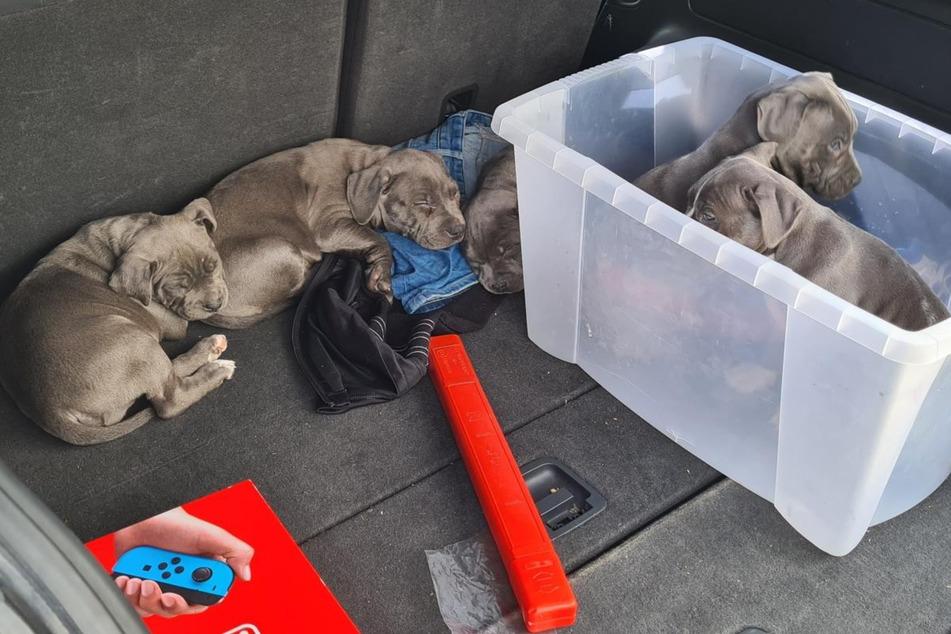 Fünf süße Hundewelpen beschlagnahmt: Jetzt geht's in Quarantäne