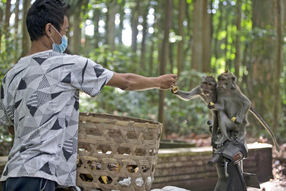 Wegen Corona bleiben auf Bali die Touristen aus - und damit auch das Fressen für Hunderte Affen. Immer häufiger würden hungrige Makaken deshalb Häuser in der Umgebung überfallen.