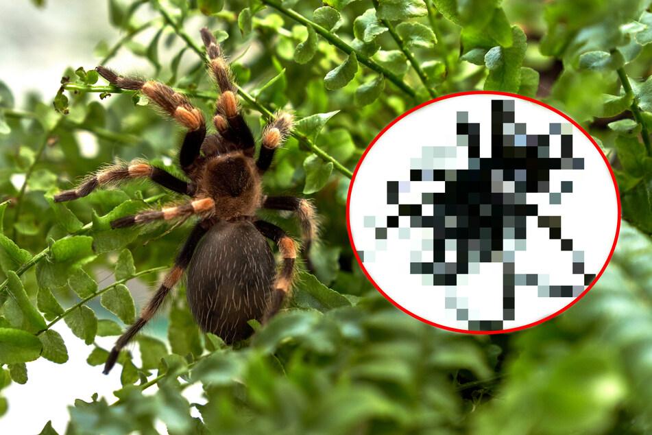 Ähnlichkeit zur Tarantel: So gruselig sieht diese neu entdeckte Spinnenart aus!