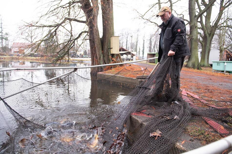 Reiche Ernte: ein Netz voll Karpfen. Der Fisch hat weniger Fett als Lachs.