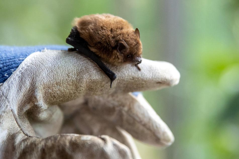 In Sachsen-Anhalt gibt es immer weniger Ausbreitungsräume für Fledermäuse. (Symbolbild)