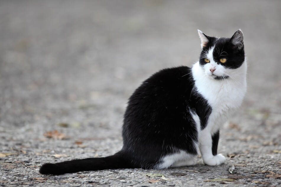 More than 1000 feral cats are currently protecting the streets of Chicago (stock image).