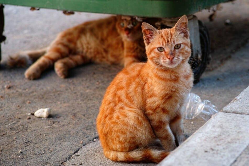 """Die """"Cats at Work"""" sind Katzen, die umgesiedelt werden müssen, sich aber in einer häuslichen Umgebung nicht wohlfühlen würden. (Symbolbild)"""