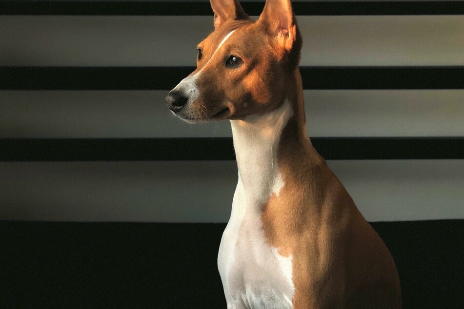 Basenjis: why can't this dog bark?