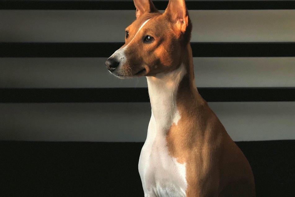Basenjis: Warum kann dieser Hund nicht bellen?