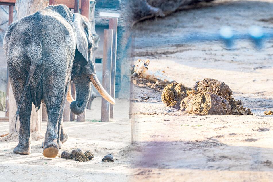 Ein großer Elefant macht auch große Geschäfte. Damit wiederum füllt der Dresdner Zoo seine Haushaltskasse auf.