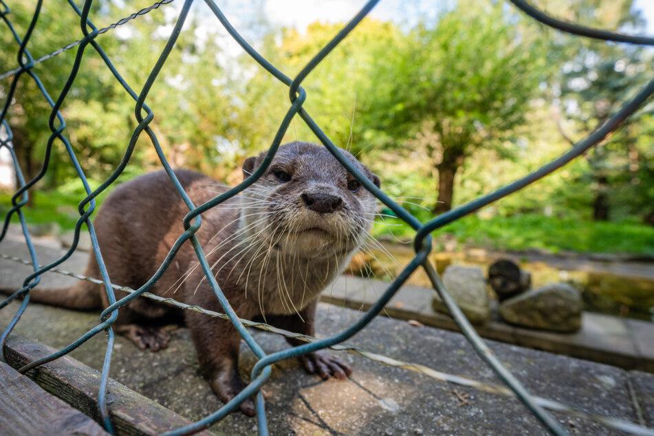Zwergotter Ferrett (25) lugt neugierig durch den Zaun. Sie ist die flotteste alte Dame des Zoos.