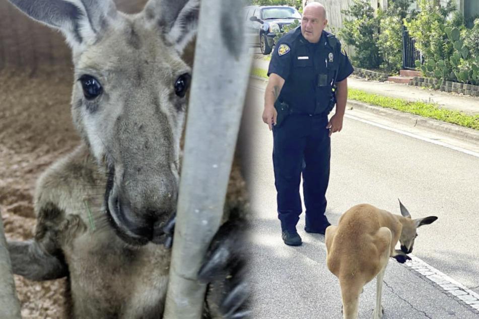 Känguru von Polizei verhaftet und im Streifenwagen abgeführt