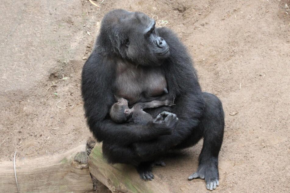 Gorillaweibchen Yene säugt ihr Neugeborenes.