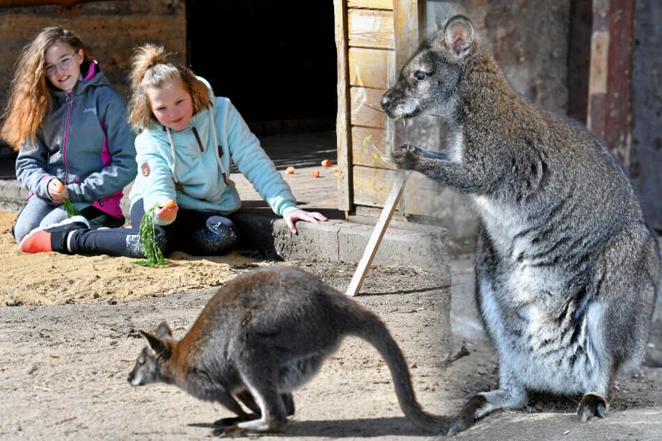 Endlich! Mini-Kängurus haben ein neues Zuhause