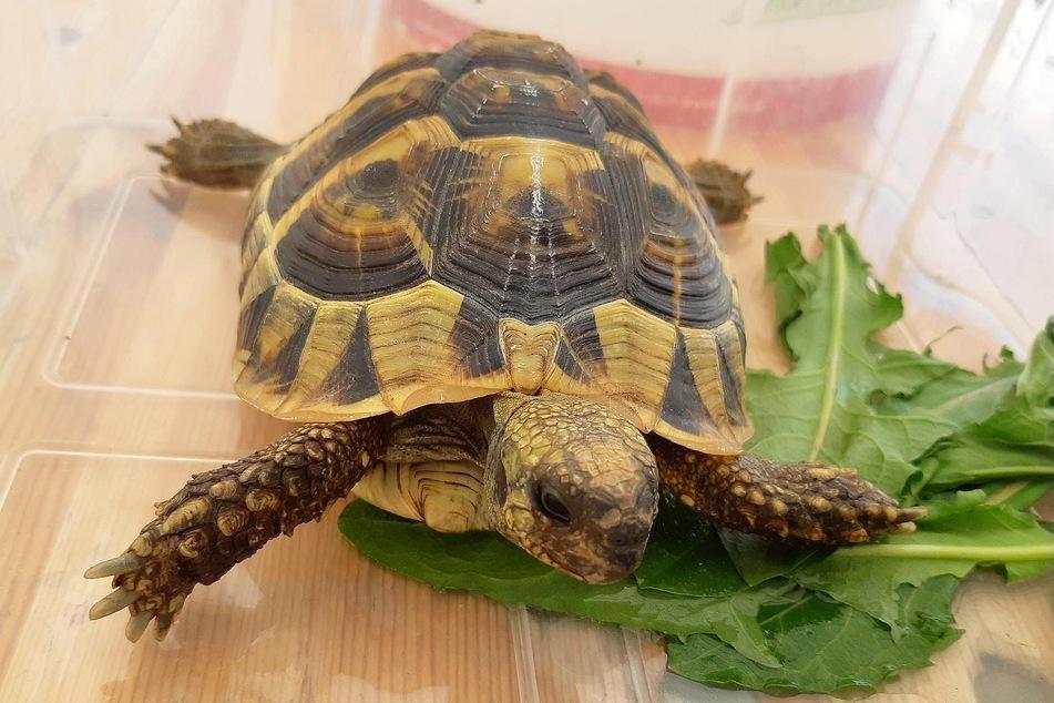 Mit Haftbefehl gesucht: Obdachloser tritt auf Schildkröte ein