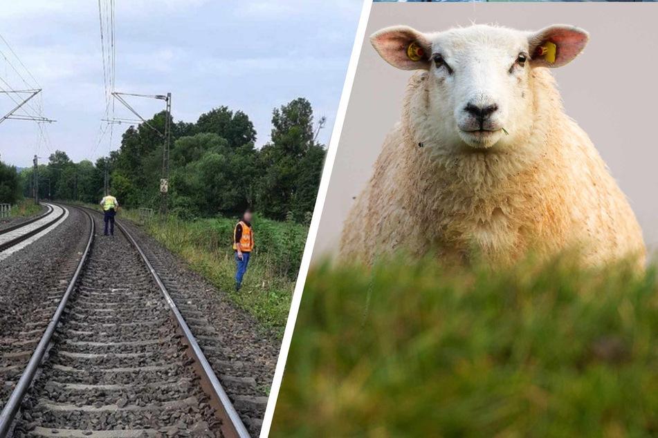 Eine Schafherde hatte sich auf die Gleise verirrt und wurde von einem Zug erfasst.