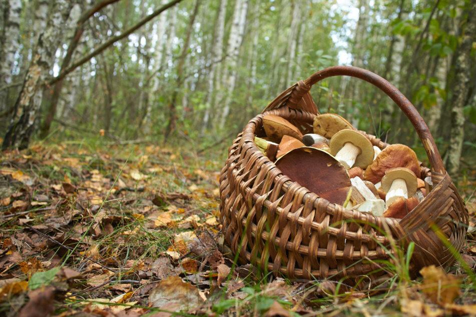 Die Pilze sehen zwar lecker aus, aber kann man sie auch bedenkenlos essen?