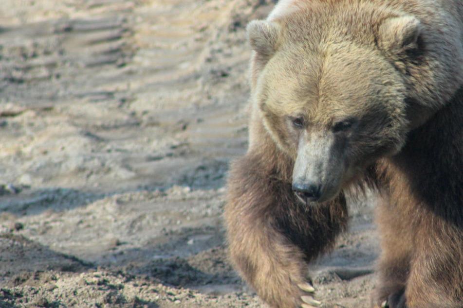 Regierung warnt davor, Freunde bei einem Bärenangriff zu opfern