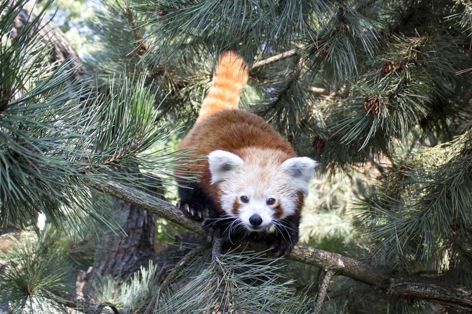 Auch Rote Pandas sind beliebte Patentiere.