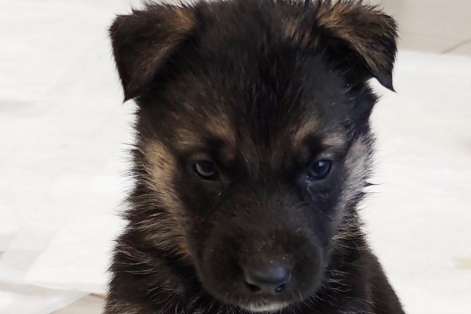 Eines von acht Hundewelpen, das die Polizei und Mitarbeiter des Tierasyls Hamm in einer Wohnung in Bockum-Hövel fanden.