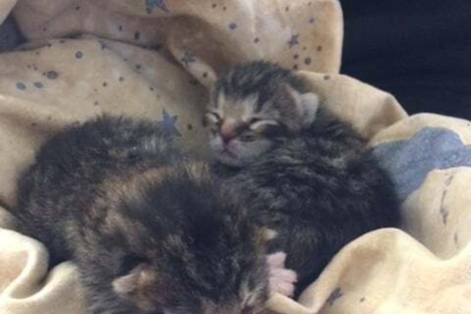 Die kleinen ausgesetzten Kätzchen wurden vom Tierheim liebevoll versorgt.