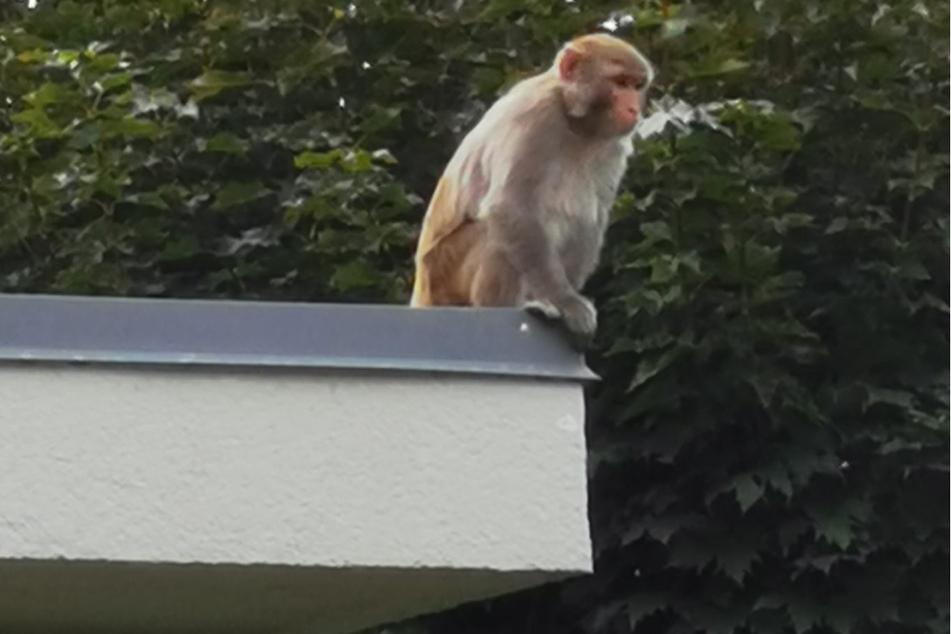 Mich laust der Affe: Polizei macht Jagd auf hungrige Ausreißer in Ostsachsen