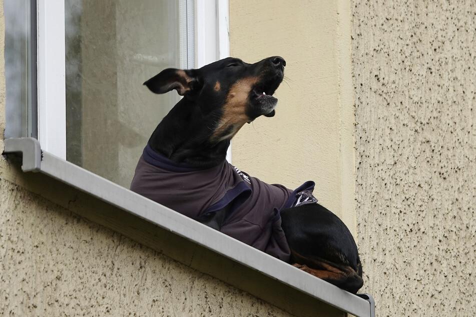 Er bellte jämmerlich, war in einer ausweglosen Situation: Ein Hund saß auf einem Fensterbrett in Chemnitz fest!
