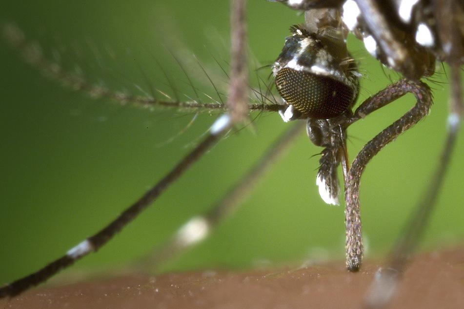 Kampf gegen die gefährliche Tigermücke: Jetzt hilft Gammastrahlen-Sperma