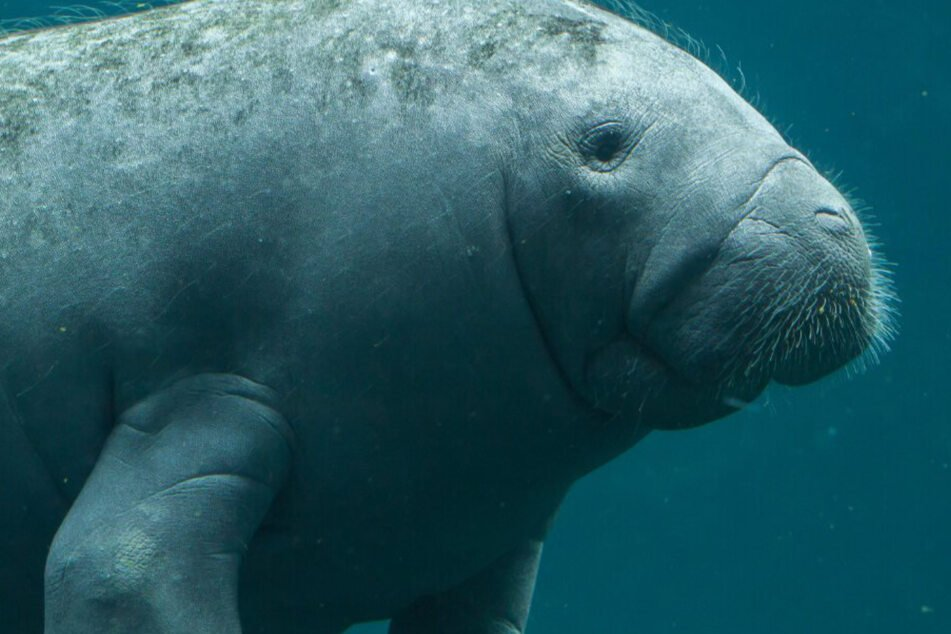 Mysterious upsurge in manatee deaths leaves animal activists scrambling for answers