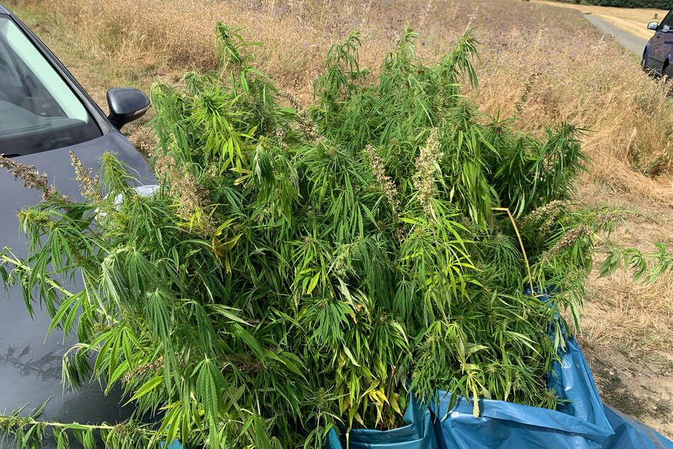 Spaziergängerin entdeckt Hunderte von Hanfpflanzen auf Feld: Polizei wird zum Erntehelfer
