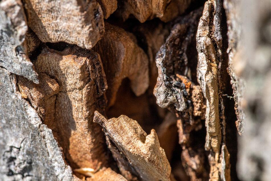 Morsche, hohle Stämme sind perfekter Lebensraum für Pilze, Flechten, Larven, Insekten und Vögel.