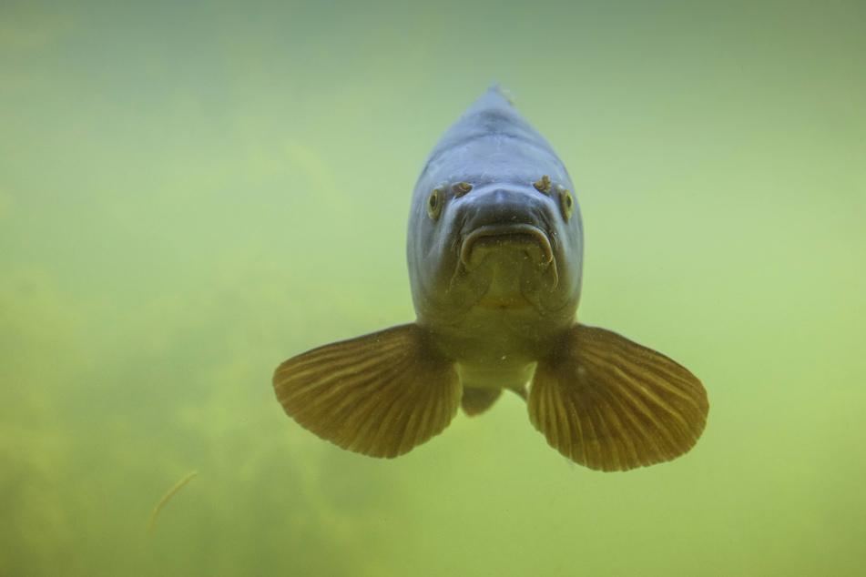 Die einjährigen Karpfen, die für einen Anglerverein bestimmt waren, schwimmen jetzt wohl in einem anderen Teich.