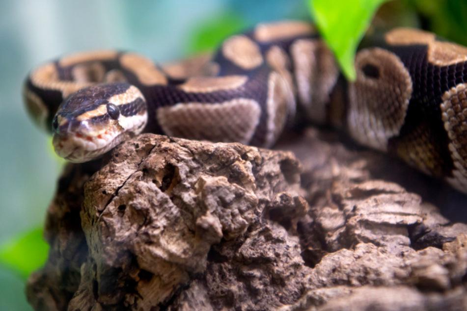 Eine Königspython liegt in der Auffangstation für Reptilien in ihrem Terrarium. Gerade Reptilien haben es meist schwer, ein neues Zuhause zubinden.