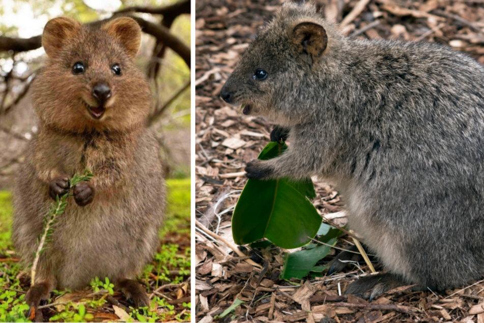 Australian mini-kangaroos slowly recover from devastating bushfires