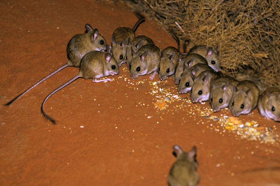 Australians are waking up to mice in their beds as the country's rodent plague continues