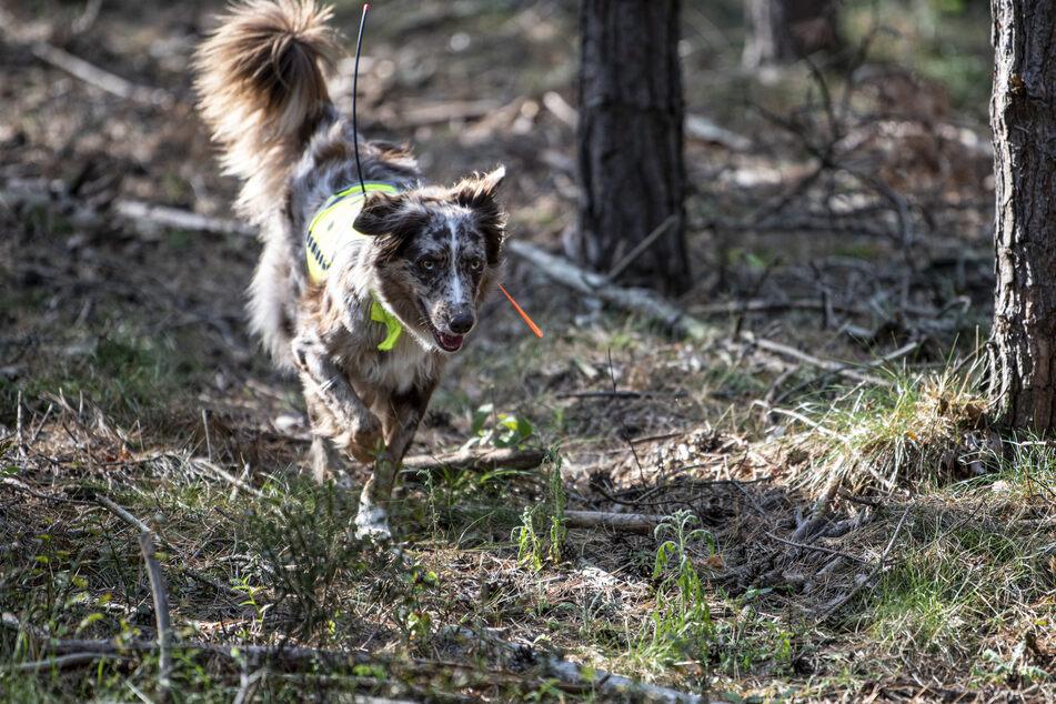 Suchhund Bailey sucht im von der Afrikanischen Schweinepest betroffenen Gebiet nach Kadavern.