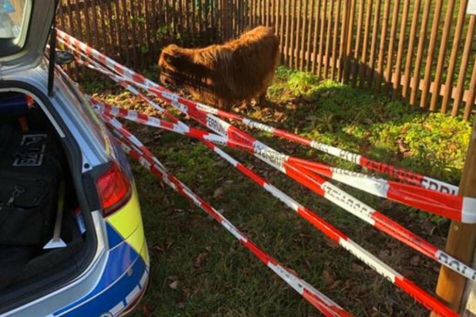 In Auerbach sorgte ein Kalb für einen Polizeieinsatz.