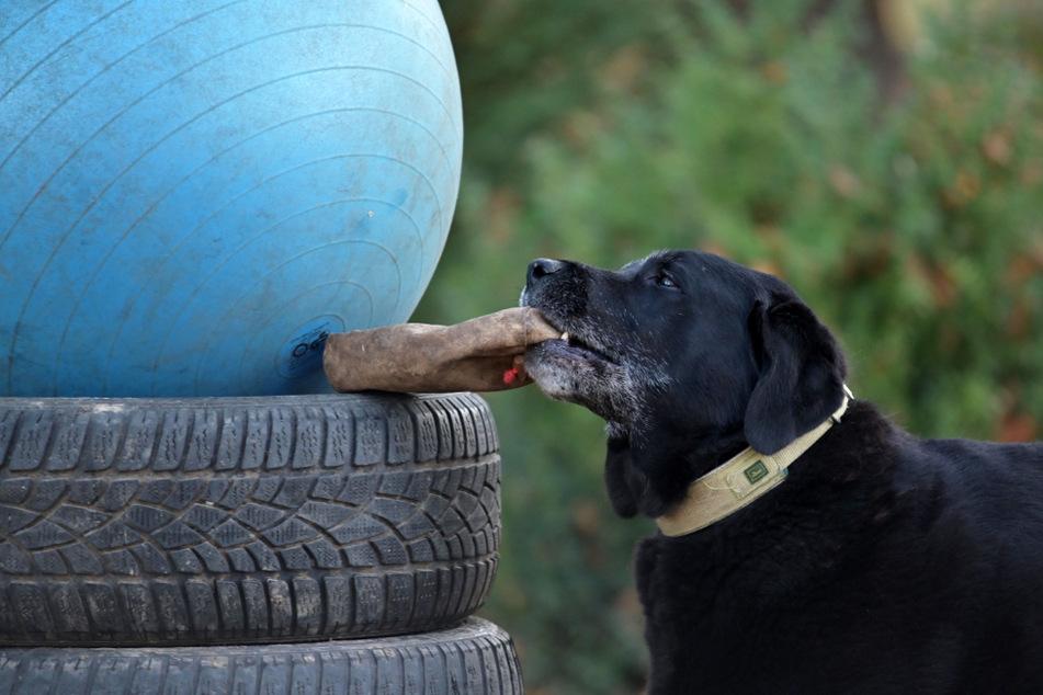 Zusammenarbeit Mensch und Hund: Marcel Sickel versteckte einen Köder, Kaido suchte und fand ihn.