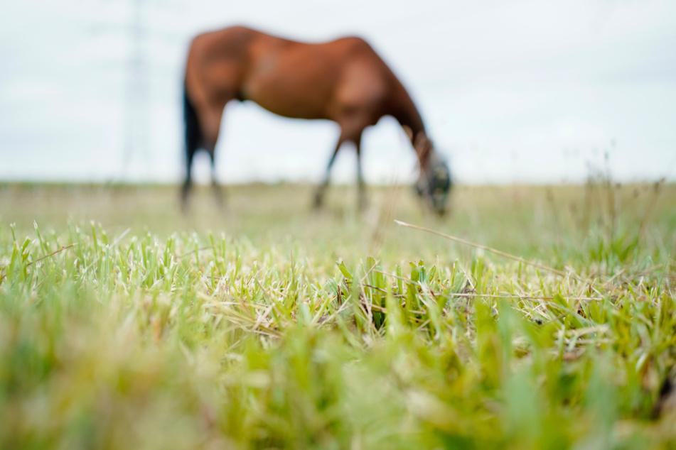 Die Pferde waren zuvor aus einer Koppel ausgebüxt. (Symbolbild)